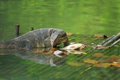 Varanus salvator(water monitor lizard) eating fish on woodpallet. In water Stock Photo