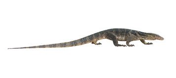 Varanus salvator  on white background. Varanus salvator  isolated on white background Stock Image