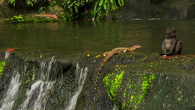 Varanus Scrambles out of Waterfall to Stony Bank in Park. Varanus salvator large water monitor lizard scrambles out of waterfall to stony bank in park stock footage