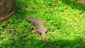 Varanus searching for food in Sri Lanka stock footage