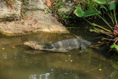 Varanus swiming Royalty Free Stock Photography