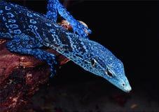 Varanusmacraei, blå prickig trädbildskärm Royaltyfri Bild