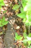Varanussalvator is reptielen en amphibiansin levend in bos Royalty-vrije Stock Afbeeldingen