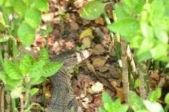 Varanussalvator is reptielen en amphibiansin levend in bos Stock Foto's