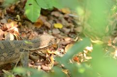 Varanussalvator is reptielen en amphibiansin levend in bos Royalty-vrije Stock Fotografie