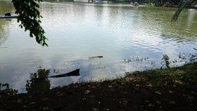 Varanussalvator  swim Stock Image