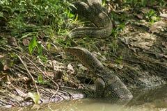 Varanussalvatoren är en reptil som bor i vattnet royaltyfri fotografi