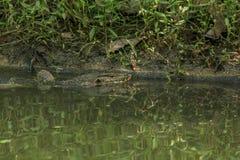 Varanussalvatoren är en reptil som bor i vattnet royaltyfria bilder