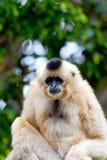 varar fräck mot guld- nomascus för gabriellaegibbon Royaltyfria Bilder