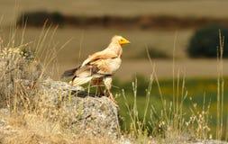 Varas do abutre egípcio nas rochas nos campos de Sorian imagem de stock