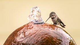 Varas do colibri de Anna fêmea no lado de uma fonte de água a beber imagem de stock royalty free