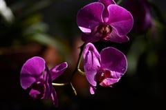 Varas do orvalho da manhã à orquídea roxa de florescência imagens de stock