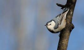 Varas do pica-pau-cinzento no membro de árvore fotos de stock