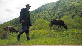 VARDZIA, GEORGIA - 17-ОЕ ИЮНЯ 2017: Чабан пасет коров на злаковике Отечественное размножение скотин сток-видео