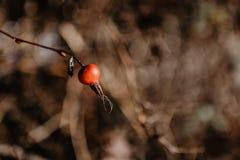 Vare el rugosa de Rose Rosa - arbusto espinoso de bayas salvajes rojas secadas foto de archivo
