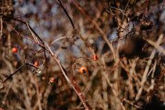 Vare el rugosa de Rose Rosa - arbusto espinoso de bayas salvajes rojas secadas imagen de archivo