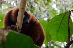 Varecia rubra - the red ruffed lemur Stock Images