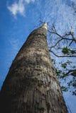 Varen op de Bovenkant van Grote Droge Boom in Regenwoud Indonesië het Oost- van Borneo Stock Afbeelding