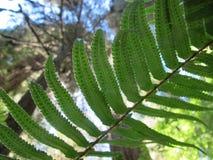 Varen van de Californische sequoia Forest Seeking van Californië de Ochtendzon stock fotografie