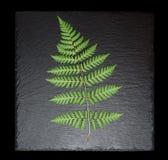 Varenblad op geïsoleerde leiplaat, Stock Foto's