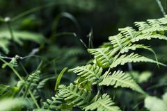 Varenblad op groene tuinachtergrond Groene varenmacrophoto Sprookje bosscène Royalty-vrije Stock Foto