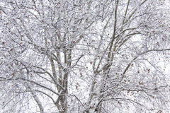 Varenbladen van snow-covered bomen die tot een textuur van branche leiden Royalty-vrije Stock Afbeeldingen