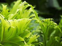 Varenbladeren Royalty-vrije Stock Foto