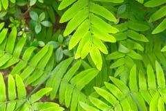 Varenbladeren in Isabella Plantation in Londen Stock Afbeeldingen