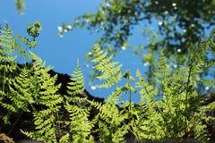 Varenbladeren tegen een duidelijke blauwe hemel stock foto