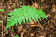Varens die in nat diep hooglandbos groeien Royalty-vrije Stock Afbeelding
