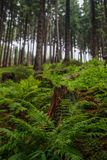 Varens en pijnboombomen in een lang oud en wild Europees bos Royalty-vrije Stock Foto's