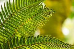 Varenvarenbladen die voor heldergroen licht groeien royalty-vrije stock afbeeldingen