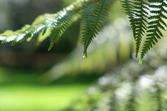 Varenvarenbladen met het druppeltje van het regenwater Stock Afbeelding