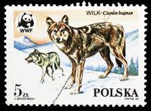 Varg (Canislupus), World Wildlife Fund serie, circa 1985 arkivfoton