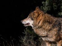 Varg i skogen över svart bakgrund royaltyfri fotografi