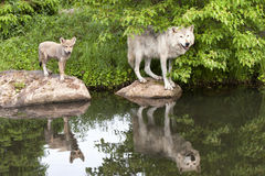 Varg och valp med klar reflexion i sjön Arkivfoton