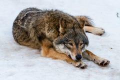 Varg som har en vila i snön Fotografering för Bildbyråer