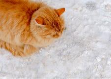 Vargant ginger tomcat sitting in the street Royalty Free Stock Image