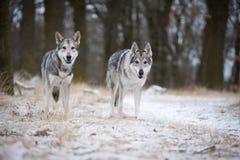 Varger i mest forrest i vinter Fotografering för Bildbyråer