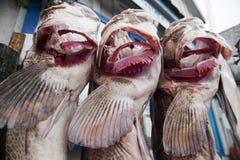 Vargfisklås av dagen royaltyfri fotografi