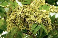 Variété d'acacia Image stock