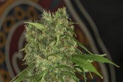 Variété d'AK 47 de fleurs de marijuana Image libre de droits