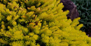 Variété d'Anemone Plant Flower Sunburst Image stock