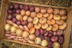 Variété d'oignons frais de ferme organique dans la boîte en bois photo stock