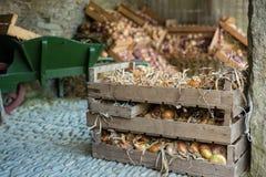 Variété d'oignons frais de ferme organique dans la boîte en bois images stock