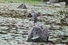 Variété d'oiseaux colorés, Singapour Photo stock