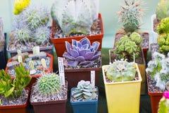 Variété de cactus et de succulents dans des pots Image libre de droits