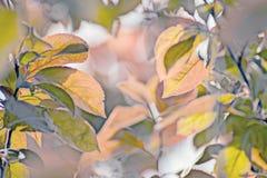 Variété de cerasifera de Prunus pissardii Photos libres de droits