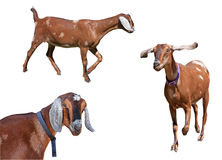 Variété de chèvres repérées de Nubian d'isolement Image libre de droits