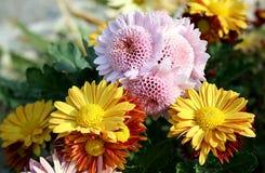 Variété de chrysanthème d'amasseur d'argent Photographie stock